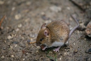 The urine of wild mice contains dangerous viruses.