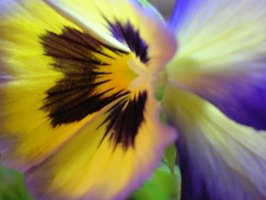 Pansies bloom in September.