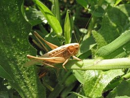 Grasshopper in a field, one of its natural habitats