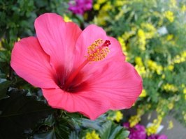 Swamp rose mallow hibiscus grows naturally in swamps and ditches.