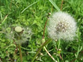 Weeds in a lawn may be eliminated using mixtures of natural ingredients.