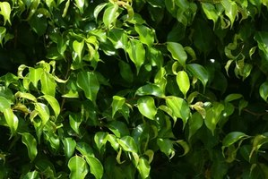 Trim ficus trees to keep the tree healthy.