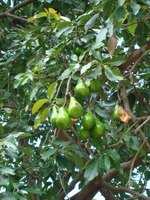 Pears on a pear tree.