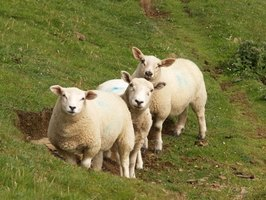 Wool comes from the fleece of sheep and lambs.