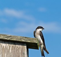 Swallows are common in the Pacific Northwest.