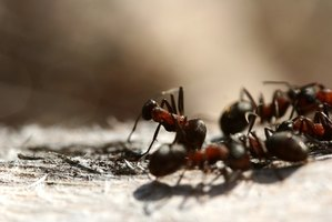 Worker ants bring food to baby ants.