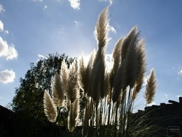 Pampas grass is beautiful but invasive.
