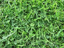 Clover roots are tiny nitrogen factories that feed the soil they grow in.