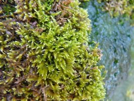 Moss grows on damp roofs and can cause damage.