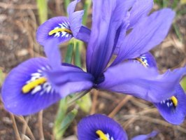 Irises come in many different varieties.