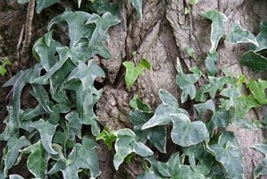 Ivy is a prolific evergreen vine.