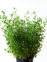 Lemon thyme is a variety of the herb thyme.