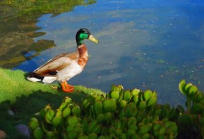 A backyard pond can attract wildlife to your garden.