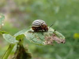 The potato beetle is identified by its striped back.