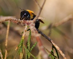 The carpenter wood bee looks similar to a bumblebee, with yellow and black coloration.