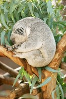 Eucalyptus is native to Australia and is food to the koala.