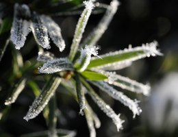 Frost coats the leaves of plants, freezing the cells.