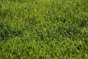 A perfectly green lawn may be temporarily marred by brown patch.