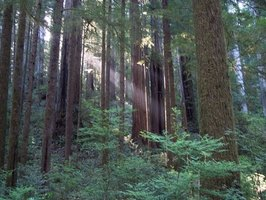 Giant redwoods are some of the largest and oldest trees in existence.