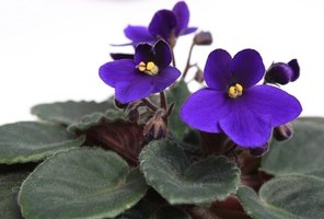 African violets enjoy moderate temperatures and gentle care.