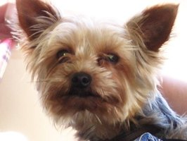 Yorkies are at an increased risk of developing canine diabetes.