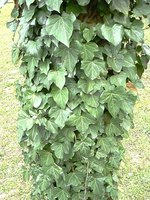 Kill poison ivy plants with vinegar.