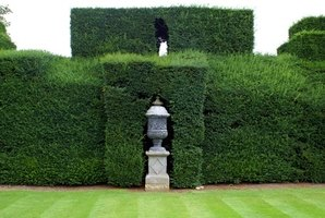 The yew hedge can be pruned and sheared into elaborate shapes.