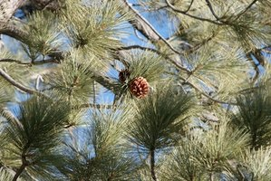 Their cones and year-round foliage make pines attractive landscape trees.