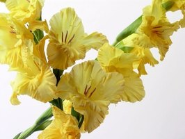 Plant gladiolus bulbs in Wisconsin after danger of frost has past.