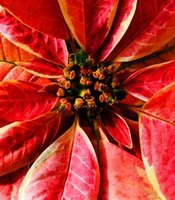 Poinsettias are very popular winter plants around the holidays.