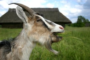 A string trimmer might be the next best thing to a goat.
