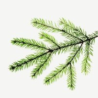 Short, small needles mean less water loss, allowing evergreens to stay green.