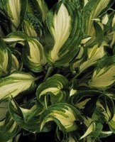 The white and green leaves of a hosta plant.