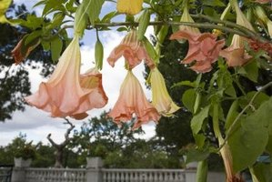 The angel trumpet plant is toxic to humans and animals.