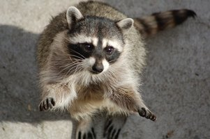 The raccoon has a large home range and is very adaptable to its environment.
