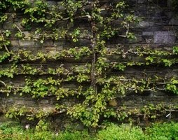 An espalier tree may grow against a wall.