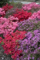 Azaleas come in a variety of colors.