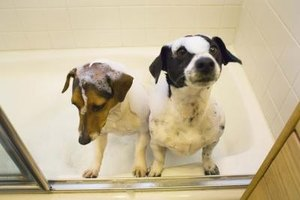 Scrub flea-infested pets with a Listerine shampoo.