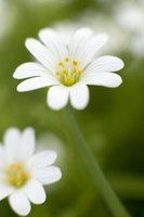 White asters are an example of a perennial.