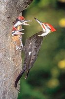 Woodpeckers like to excavate their own homes from soft, rotting wood.