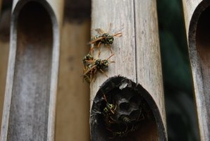 Wasp nests are best removed at night, when wasps are inactive