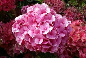 Hydrangeas are large, fluffy flowers.