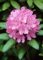 Rhododendron flowers display more distinct lobes than those of mountain laurel.