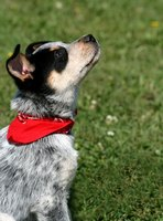 Bandannas are a popular fashion accessory for dogs, and over-the-collar bandannas are safe and easy to make.
