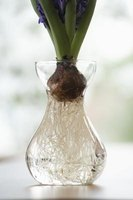 Bulb roots are clearly visible when the plant is grown in water.