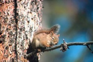 Make a homemade repellent to help get rid of red squirrels.
