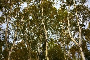 Birch tree foliage is susceptible to insects and disease.