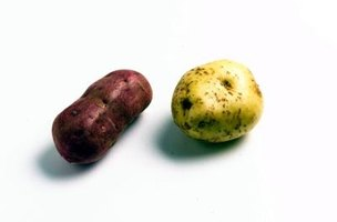 Any potato will sprout roots and vines on your own windowsill in a glass of water.