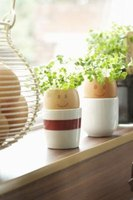 A common children's project is growing cress in egg shells.
