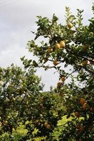 Prune your lemon trees so they are fruitful each year.